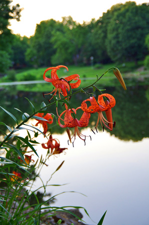Tigerlilies by the pond