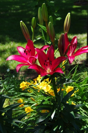 Red lilies in foreground and yellow daylilies behind them