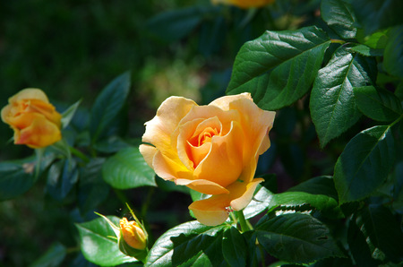 Yellow roses and bud