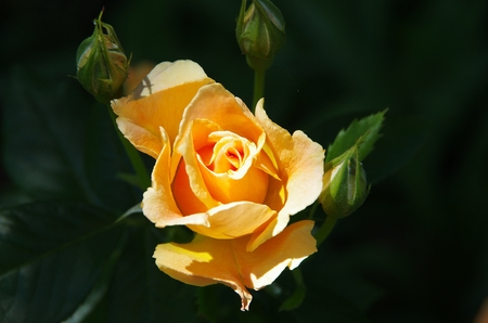 Yellow knockout rose in bloom Stock Photo