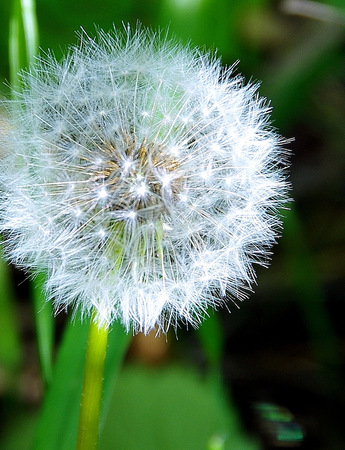 Dandelion plume ready to disperse its seeds Stock Photo