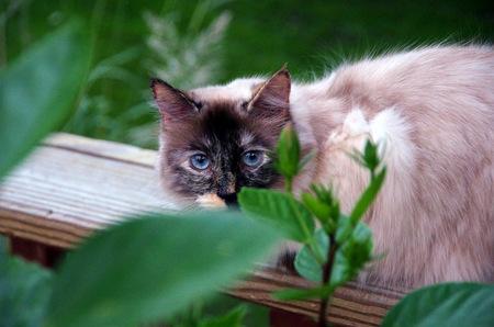 silky hair: Powder Puff hiding behind a shrub