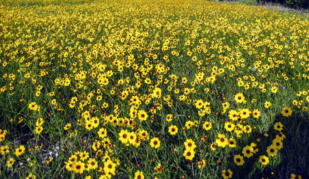 A field of coreopsis flowers in southern Kansas