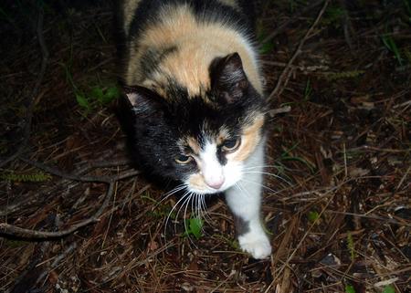 fixate: Tikki my feral calico cat stalking Stock Photo