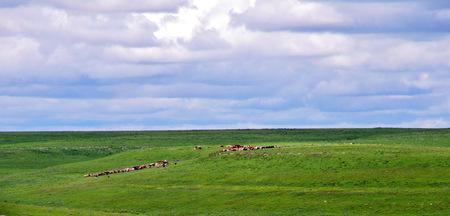 Cattle in the prairie in Kansas Banco de Imagens