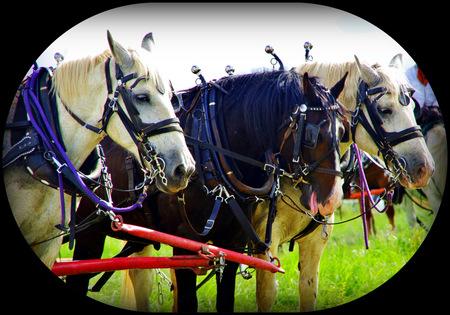 Draft horses in harness Stock Photo