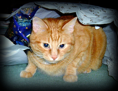 Orange Tabby cat Little Doc playing in the gift wrap Banco de Imagens