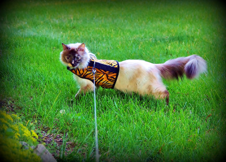 Powder Puff kitty on a walk in her tiger coat