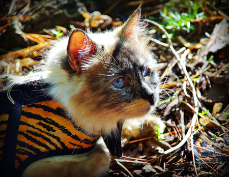 Powder Puff the ragdoll in tiger suit