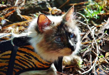 Powder Puff the Ragdoll playing tiger in the woods Banco de Imagens