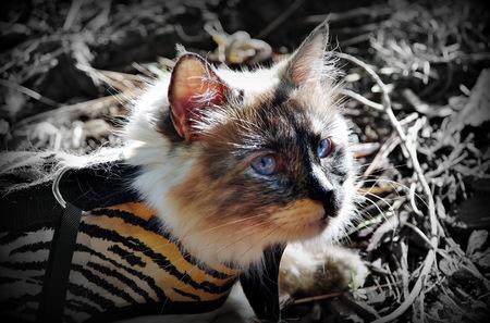 silky hair: Ragdoll cat Powder Puff in the woods