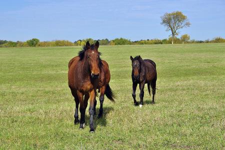 Horses running toward the camera