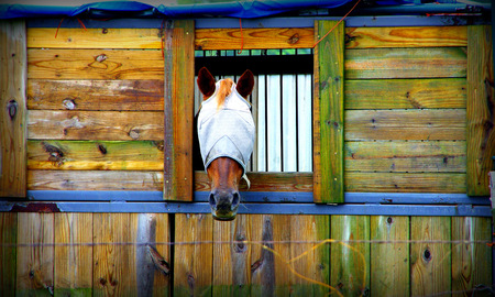 Horse in a stall with eyes covered for protection Banco de Imagens