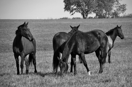 A black and white picture of horses grazing in a field