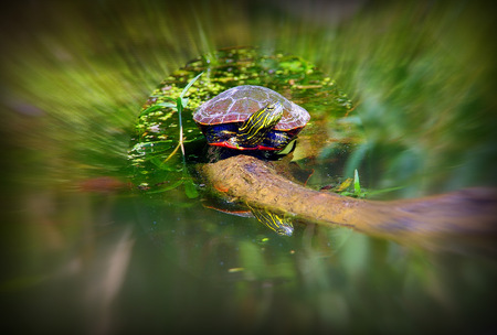 Turtle sitting on a log in the lake sunning itself Banco de Imagens