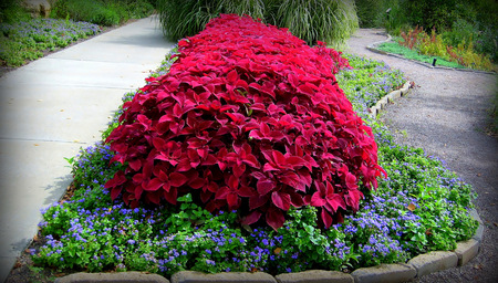 Coleus plantings making a spectacular display of color