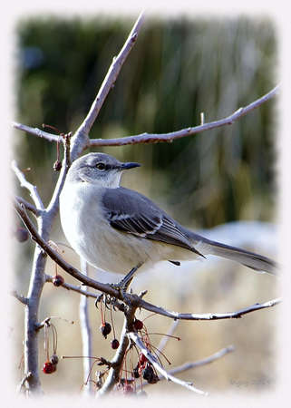 Northern Mockingbird perched on a crabapple tree in winter