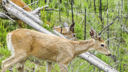 Deers in the wilderness, Glacier Park, Montana,USA. photo