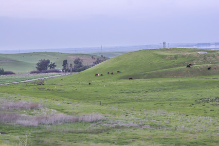 Cows on the prairie, cattle, animals, Alameda County, CA. USA.