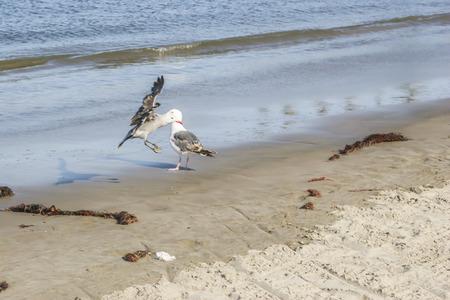 san pedro: Seagull landing, birds, Cabrillo Beach, San Pedro,CA. USA