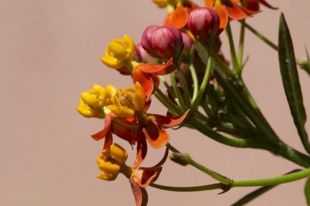 Milkweed plants flower,garden,nature,Monarch Butterfly photo