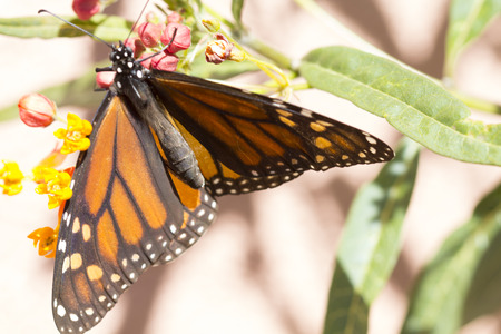 Beautiful Monarch Butterfly eating on a milkweed plants. photo