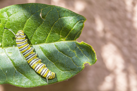 Monarch larvae eating  a milkweed plants,Monarch Butterfly. photo