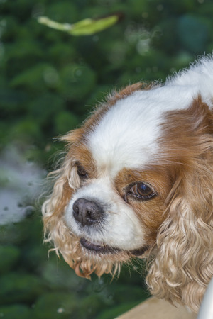 Cavalier King Charles Spaniel ,toys dog,spaniels with eye problem.