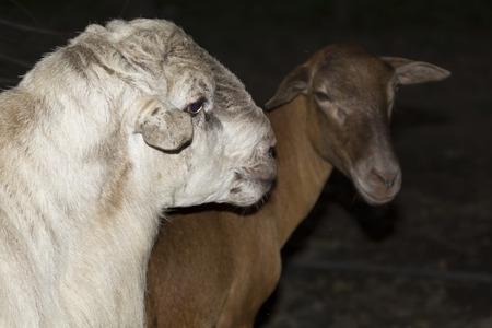 breed: Pelibuey,breed of domestic sheep, sheep, animals