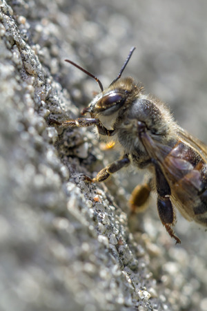 producing: Honey bee,bees, insects,flower, flying insects, fruits., honey