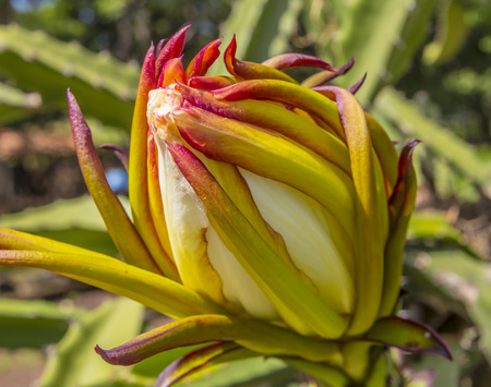 cactus species: Dragonfruit flower, flor de Pitahaya, very popular Nicaraguan fruit, it start as flower then become fruit.