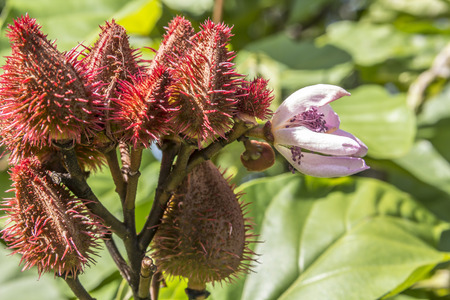 colorant: Achiote, small tree originating from the tropical region of Nicaragua it is also cultivated in the americas,spice,food colorant.