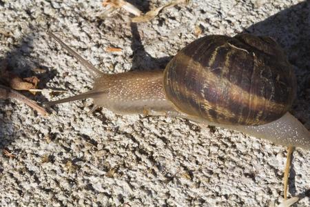garden snail, land snails, terrestrial pulmonate gastropod molluscs, animals