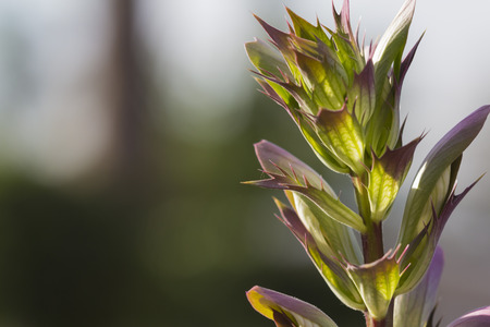oyster plant: Acanthus mollis, commonly known as bears breeches, bearsfoot or oyster plant, Perennial,flower Stock Photo