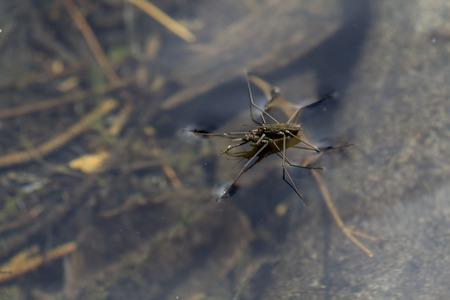 procreation: Water Spider procreation, Lake Marie,Douglas County Oregon.USA