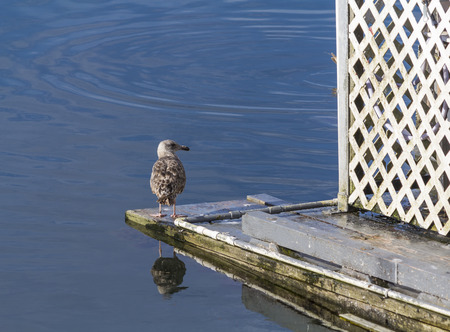 coquille: Seagull Reflection, Old Town Bandon Pier Marina, Coquille River meets the Pacific Ocean,Bandon,Oregon.USA.