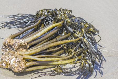 ocean plants: Seaweed plant on the beach, ocean plants,Bandon,Oregon,USA
