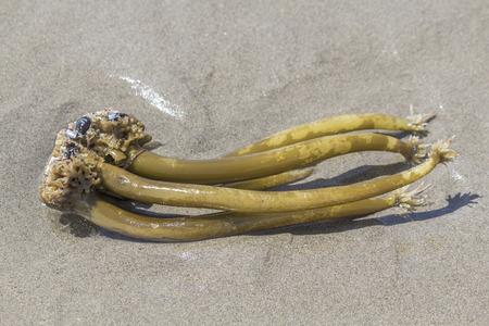 Seaweed and oyster shell, sea plants,Bandon,Oregon.USA