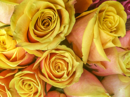yellow roses: Amarillo Hermosa naturaleza flowers- Las rosas, bot�nico