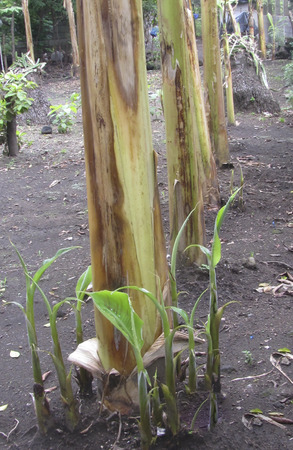 soli: Banana plantation, agruculture, plant, ometepe Island, Rivas, Nicaragua. Stock Photo