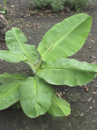 soli: Small banana plant, agruculture, plant, ometepe Island, Rivas, Nicaragua. Stock Photo