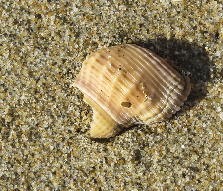 Ocean shell at Bolsa Chica Beach, Orange County, CA. USA.