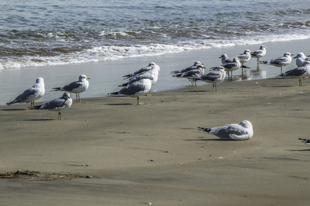 san pedro: Seagulls flock at Cabrillo Beach, San Pedro, CA. USA Stock Photo