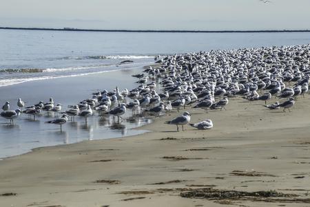 san pedro: Seagulls gathering at Cabrillo Beach, San Pedro, CA. USA