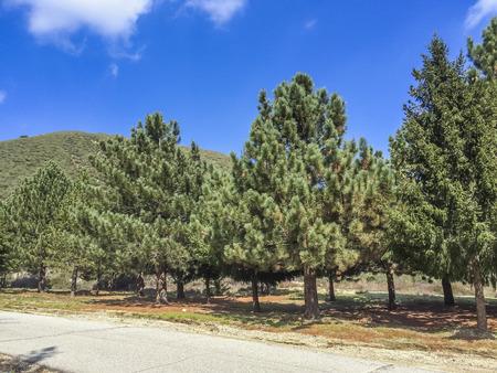Bernardino: Pines trees conservation at San Bernardino mountains, CA. USA. Stock Photo