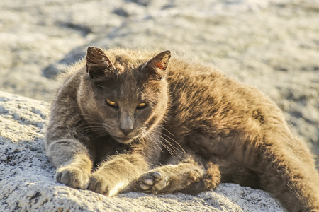 wild cat: Golden brown wild cat at  White Point beach, San Pedro, CA. USA.