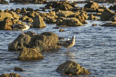 ca: Alert seaguls at the rocky shore, San Pedro, CA. USA. Stock Photo