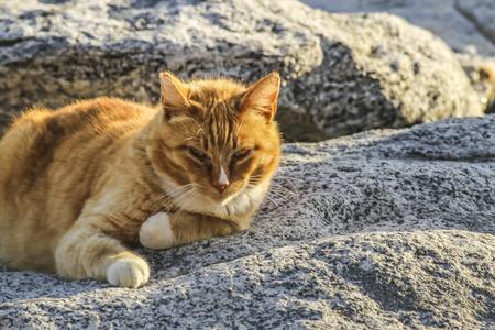 ar: Wld golden cat ar White point beach,