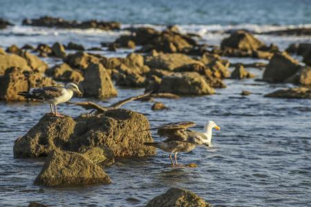 Seaguls activity at White point beach, San Pedro, CA. USA,