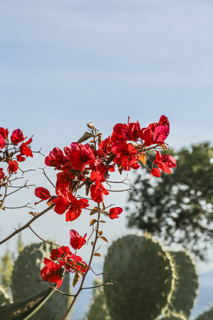 san pedro: Red flowers and cactus at White Point beach garden, San Pedro, CA. USA.